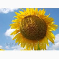 SEED GRAIN гібрид соняшника СІВАС