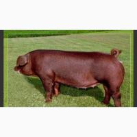 Продам чистокровних свиней