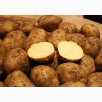 Срочно продам картофель, 20 тонн