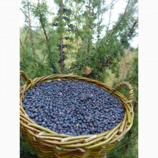 Плоды можжевельника обыкновенного, свежие(Закарпатье)