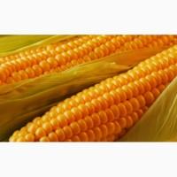 Купим кукурузу в Сумах и области