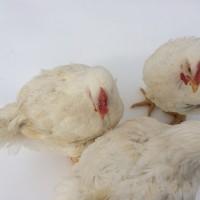 Домашня курка Еко продукт натуральне м#039;ясо