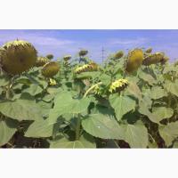 Семена кондитерского подсолнечника сорт Орешек 2018