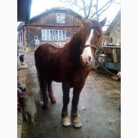 Продам робочого кона