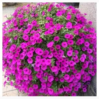 Розсада сульфінії Purple (фіолетова) d-9 см