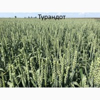 Семена озимой ранней пшеници Турандот 1реп. (Чехия)
