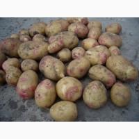 Продам товарну картоплю, сорти Арізона та Пікасо