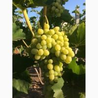 Продам виноград, сорт Аркадия, Преображение мелкий опт, самовывоз, можно торг