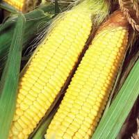Насіння кукурудзи АФІНА