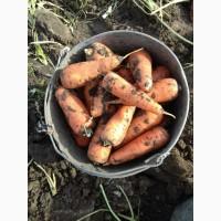 Продам: Абако морковь опт. Размер 10 плюс