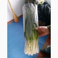 Продам оптом зеленый лук перо. Штутгарт