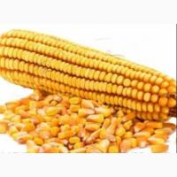 Продаю качественную кукурузу