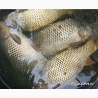 Речная живая рыба мальок и товарную