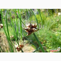 Продам Семена Многоярусного лука