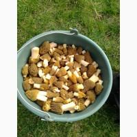 Продам гриби Зморшки