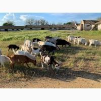 Продажа молочных коз с первым и вторым окотом, кастрированные козлы и молодняк