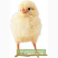 Цыплята бройлер Кросс Кобб-500 +79 78 70 555 72