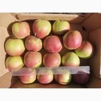 Продам яблоко Лигольд
