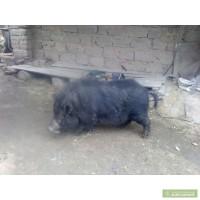 Продам вьетнамского хряка