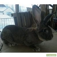 Кролики крупной породы