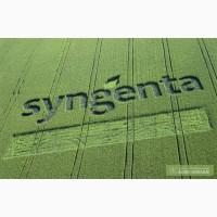 Семена кукурузы Сингента гибрид (Syngenta)