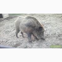 Продам парку Диких свиней 3 роки