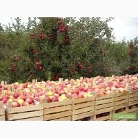 Куплю на переработку яблоко