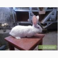 Продам кроликов Белого Великана