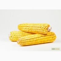 Гибрид кукурузы Биг Стар Euralis Semences