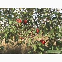 Саженцы: яблони, черешни оптом