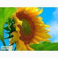Продам насіння соняшника Люкс