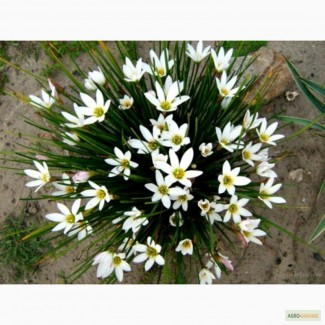 Продам цветок зефирантес. Цена 30 грн