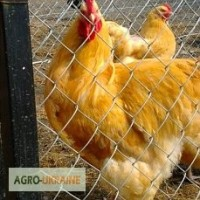 Продажа инкубационных яиц кур породы Орпингтон.Доставка в любой город Украины