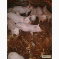 Продам свинне мясо, поросят