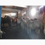 Продам лошат: тяжеловозы, орловские рысаки