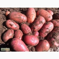 Продам насіневу картоплю Ред леді, Гранада, Мелоді