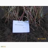 Продам садженці малини Поляна, Полка, великий опт так і роздріб