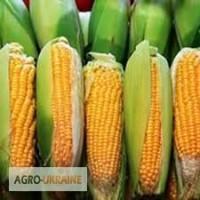 Посівний матеріал кукурудзи Тифен (Франція)