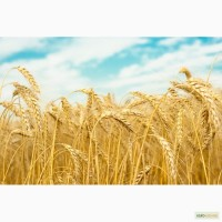Закупка зерновых и масличных