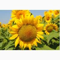 Купити насіння соняшника / Сонячний настрій / гранстаростійкий гібрид