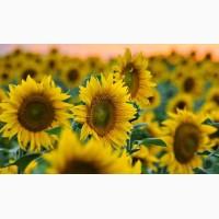 Гибрид подсолнуха - Украинское солнышко