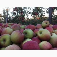 Продам яблука, різних сортів