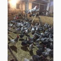 Продам инкубацыонные яйца