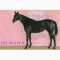 Продам лошадей ч.к