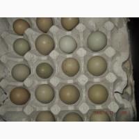 Продам інкубаційні яйця фазана мисливського