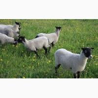 Продам овец чисто порода романовская