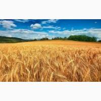 Пшеница, ячмень на экспорт