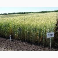 Пшеница озимая устойчива к экстремальной засухе Журавка Одесская, R2