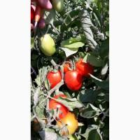 Продам помидор, Хайнц 9905