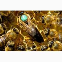 Продам Плодні Пчеломатки карпатки 2019
